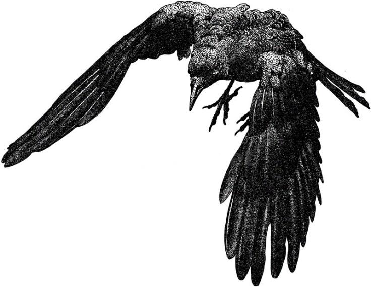 american_crow_large